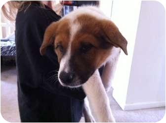 Charlie | Adopted Puppy | 1031 | Greeley, CO | Husky/St ...