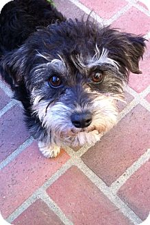 Yorkie, Yorkshire Terrier/Poodle (Miniature) Mix Dog for adoption in Los Angeles, California - Cricket