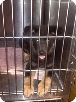 German Shepherd Dog Puppy for adoption in Hazard, Kentucky - Luna