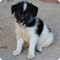 Adopt A Pet :: Petey - La Habra Heights, CA