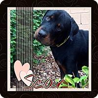 Adopt A Pet :: Scar - Gilbert, AZ