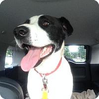 Adopt A Pet :: Archie - Charlotte, NC