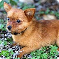 Adopt A Pet :: AUGGIE - Andover, CT