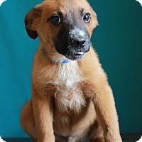 Adopt A Pet :: Boomer - Waldorf, MD