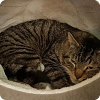 Adopt A Pet :: Big Boy - Battle Ground, WA