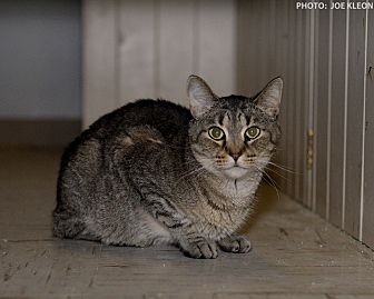 Domestic Shorthair Cat for adoption in Medina, Ohio - Vanessa