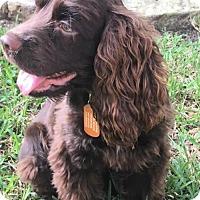 Adopt A Pet :: Aniva - Denton, TX