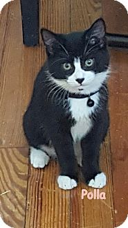 Domestic Shorthair Kitten for adoption in Cliffside Park, New Jersey - POLLA