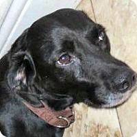 Adopt A Pet :: Gracie-Exceptional - St Petersburg, FL