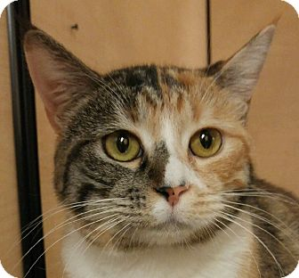 Domestic Shorthair Cat for adoption in Winchester, California - Pandora