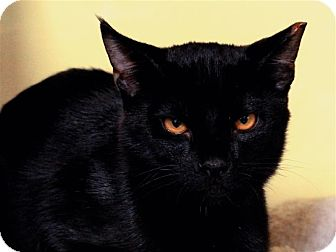 Domestic Shorthair Cat for adoption in Sedona, Arizona - Max