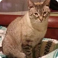 Siamese Cat for adoption in West Palm Beach, Florida - Boo (C)