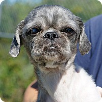 Shih Tzu Mix Dog for adoption in Port Clinton, Ohio - ASTRO