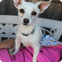 Terrier (Unknown Type, Small)/Rat Terrier Mix Puppy for adoption in Lodi, California - Holly