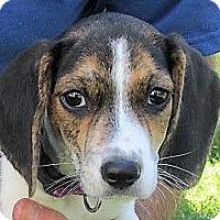 Adopt A Pet :: Rachel - Germantown, MD