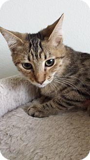 Domestic Shorthair Kitten for adoption in Westminster, California - Buckskin