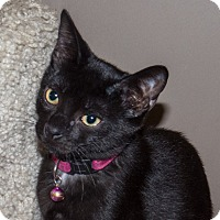 Domestic Shorthair Kitten for adoption in Elmwood Park, New Jersey - Baron