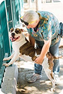 Pit Bull Terrier/American Bulldog Mix Dog for adoption in Redondo Beach, California - Bodacious Betty! URGENT!