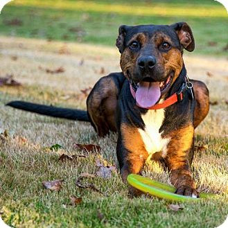 Coonhound/Boxer Mix Dog for adoption in Arlington, Virginia - Remy