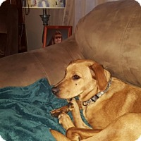 Adopt A Pet :: Scooby 9 Month Old Golden Mix - Rowayton, CT