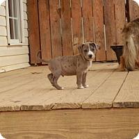 Adopt A Pet :: Dancer - Matthews, NC