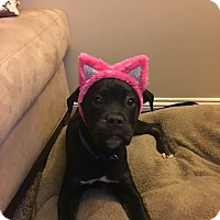 Adopt A Pet :: Jingles - Baltimore, MD