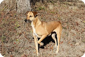 Black Mouth Cur Mix Dog for adoption in Flower Mound, Texas - Junebug