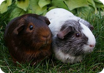 Guinea Pig for adoption in Brooklyn Park, Minnesota - Amber & Pearl