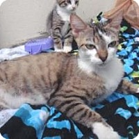 Domestic Shorthair Cat for adoption in Miami, Florida - Mom Cat