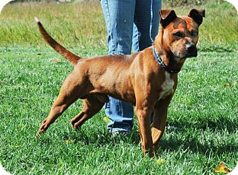 Boxer/Australian Cattle Dog Mix Dog for adoption in Dublin, Virginia - Chase