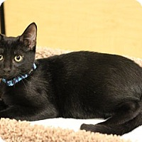 Domestic Shorthair Cat for adoption in Flower Mound, Texas - Rosie