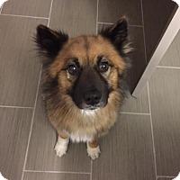Adopt A Pet :: Fox - Irving, TX