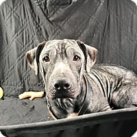 Adopt A Pet :: Noshi - Avon, OH