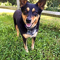 Cattle Dog/Shepherd (Unknown Type) Mix Dog for adoption in Cincinnati, Ohio - Attie