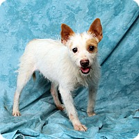 Adopt A Pet :: Freckles Wirehair Terrier chi - St. Louis, MO