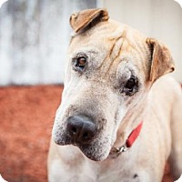 Adopt A Pet :: Shanendoah - Windsor, CA
