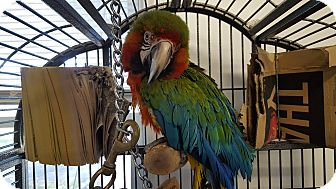Macaw for adoption in Grandview, Missouri - Joaquim