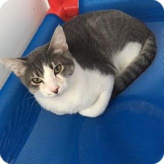 Domestic Shorthair Cat for adoption in Denver, Colorado - Storm