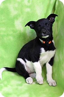 Shepherd (Unknown Type) Mix Puppy for adoption in Westminster, Colorado - YARROW