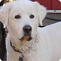 Adopt A Pet :: Boston - Kiowa, OK
