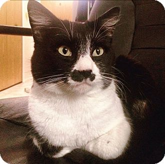 Domestic Shorthair Cat for adoption in Vancouver, British Columbia - Harken