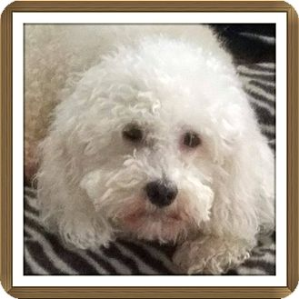 Bichon Frise Mix Dog for adoption in Inland Empire, California - ROMANO