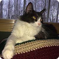 Adopt A Pet :: Meowth - Clarksville, TN