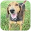 Photo 1 - Coonhound Dog for adoption in Kaufman, Texas - Gracie