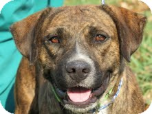 Pit Bull Terrier Dog for adoption in Conway, Arkansas - Garbo