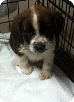 Collie Mix Puppy for adoption in Hazard, Kentucky - Fritzie