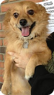 Tibetan Spaniel/Spaniel (Unknown Type) Mix Dog for adoption in Phoenix, Arizona - Toby