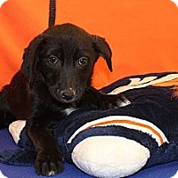 Adopt A Pet :: Champ - Broomfield, CO