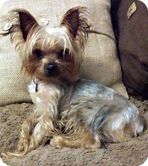 Cooper   Adopted Puppy   Atlanta, GA   Yorkie, Yorkshire ... Selkirk Rex Atlanta