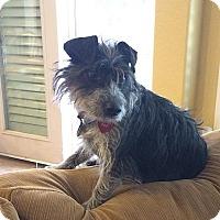 Adopt A Pet :: Gussy - Austin, TX